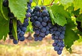 Bunches of grapes growing off a vine.