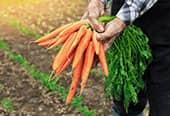 Farmer holds freshly harvested carrots in his hands.