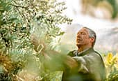 Gardener pruning an olive tree.