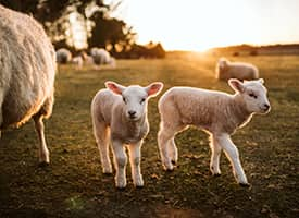 Young sheep backed by the sunset